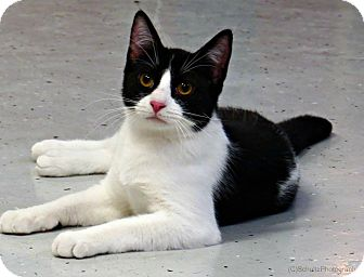 Domestic Shorthair Cat for adoption in tama, Iowa - Dhani