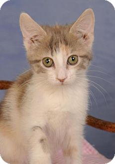 Domestic Shorthair Kitten for adoption in mishawaka, Indiana - Sweet Pea