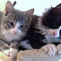 Adopt A Pet :: Kittens - Tom & Jerry - Comical Pair - Mt. Vernon, NY