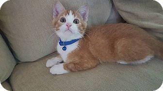 Domestic Shorthair Kitten for adoption in Aurora, Illinois - Mango