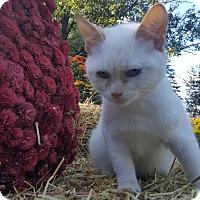 Siamese Kitten for adoption in Oakland, Michigan - Pixie