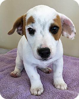 Jack Russell Terrier/Beagle Mix Puppy for adoption in Gahanna, Ohio - ADOPTED!!!   Wishbone
