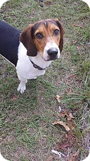 Basset Hound/Beagle Mix Puppy for adoption in Glen St Mary, Florida - Abbey