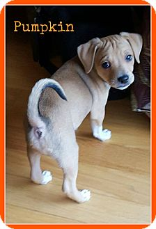Rat Terrier/Chihuahua Mix Puppy for adoption in Elburn, Illinois - Pumpkin