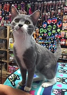 Domestic Shorthair Cat for adoption in McKinney, Texas - Miles