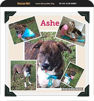 Boxer Mix Puppy for adoption in Homestead, Florida - Ash