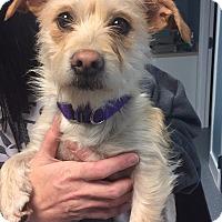 Adopt A Pet :: Harriet - Bristol, CT