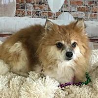 Adopt A Pet :: Love Bug - Needs MC - Dallas, TX