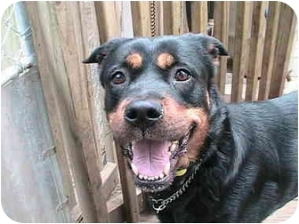 Rottweiler Dog for adoption in Forest Hills, New York - Mini