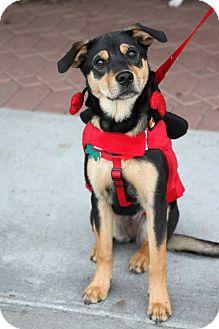 German Shepherd Dog Mix Puppy for adoption in Alpharetta, Georgia - Savannah