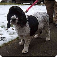 Adopt A Pet :: Heidi - Tacoma, WA