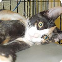 Adopt A Pet :: Lillee Belle - Medina, OH