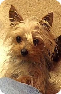 Fairview Heights Il >> Fairview Heights, IL - Yorkie, Yorkshire Terrier. Meet ...