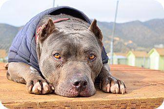 American Pit Bull Terrier/American Pit Bull Terrier Mix Dog for adoption in Acton, California - Mojito