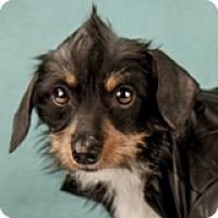 Adopt A Pet :: Aidan Amore - Houston, TX