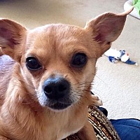 Chihuahua Dog for adoption in Plano, Texas - Cowboy