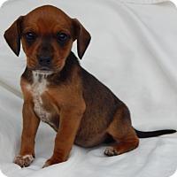 Adopt A Pet :: Jenny (2.5 lb) Unique Pup! - SUSSEX, NJ