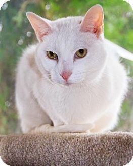 Domestic Shorthair Cat for adoption in Fort Collins, Colorado - Abacus
