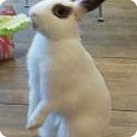 Adopt A Pet :: Lollipop - Woburn, MA