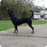 Adopt A Pet :: Celia - Weeki Wachee, FL