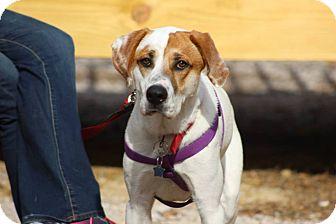 Hound (Unknown Type) Mix Dog for adoption in Boston, Massachusetts - Hugo