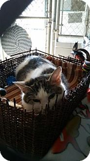 Domestic Shorthair Cat for adoption in Bedford, Indiana - Momma
