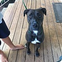 Adopt A Pet :: Li'i (Lee) - Allentown, PA