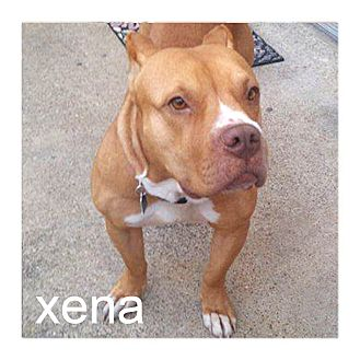 Staffordshire Bull Terrier/American Pit Bull Terrier Mix Dog for adoption in Dallas, Texas - Xena