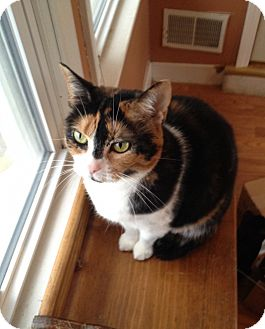 Domestic Shorthair Kitten for adoption in Warren, Michigan - Chloe