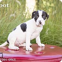 Adopt A Pet :: Spot - Terre Haute, IN