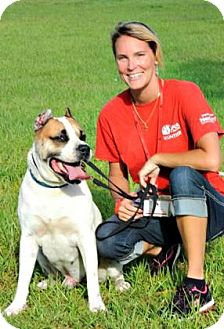 American Bulldog/Akita Mix Dog for adoption in Titusville, Florida - Gino