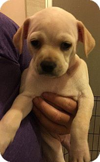 "Pug Puppy for adoption in Gardena, California - Kaley - ""Lexie"""