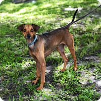 Dachshund Mix Dog for adoption in Jupiter, Florida - Bones