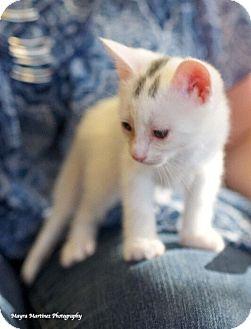 Domestic Shorthair Kitten for adoption in Huntsville, Alabama - Winchester