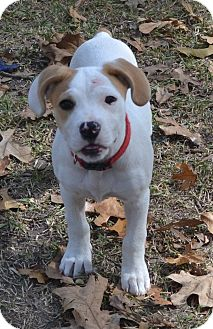 Boxer Mix Puppy for adoption in Manchester, New Hampshire - Lucy Lu-pending