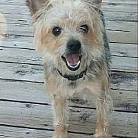 Yorkie, Yorkshire Terrier Dog for adoption in Beach Park, Illinois - Oliver