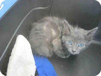 Domestic Mediumhair Kitten for adoption in San Antonio, Texas - LOTTY