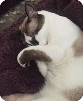 Snowshoe Cat for adoption in Houston, Texas - Moses