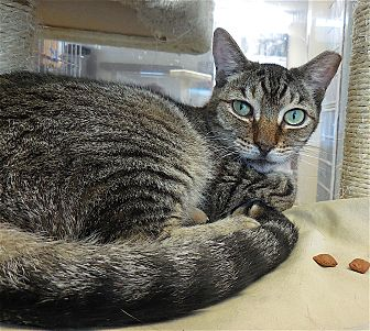 Domestic Shorthair Cat for adoption in Carmel, New York - Callan