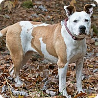 American Pit Bull Terrier Mix Dog for adoption in Cashiers, North Carolina - Tory