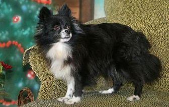 Pomeranian Dog for adoption in Dallas, Texas - Jona