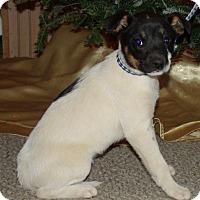 Cattle Dog/Boxer Mix Puppy for adoption in PRINCETON, Kentucky - Kali