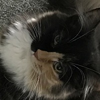 Adopt A Pet :: Feline Martina (Shy) - Remus, MI