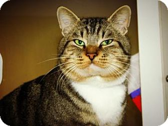 Domestic Shorthair Cat for adoption in Cheyenne, Wyoming - Mr. Big Stuff