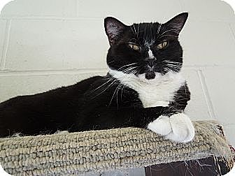 Domestic Shorthair Cat for adoption in House Springs, Missouri - Hailey