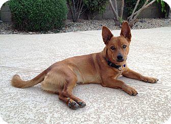 Basenji/Corgi Mix Dog for adoption in Phoenix, Arizona - Sam