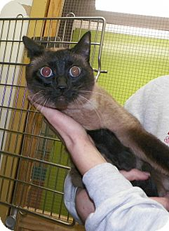 Siamese Cat for adoption in Dover, Ohio - Sissy