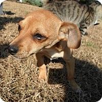 Adopt A Pet :: Dante - Santa Monica, CA