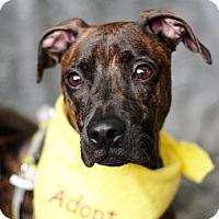 Adopt A Pet :: Percy - 30 lbs! - Bellflower, CA