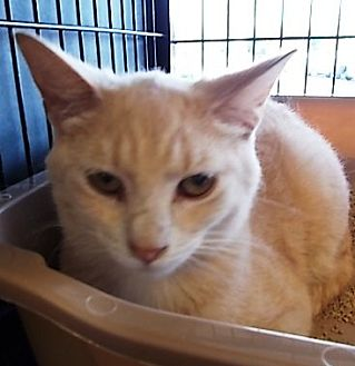 Domestic Shorthair Cat for adoption in Centreville, Virginia - sunny